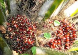 fruits qui donnent l'huile de palme