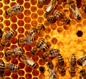 abeille dans une ruche