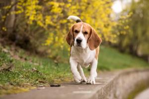 collier chien anti fugue