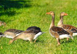 vente foie gras