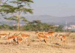 Antilope au Kenya