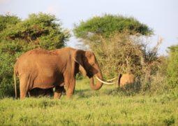 éléphants au Kenya